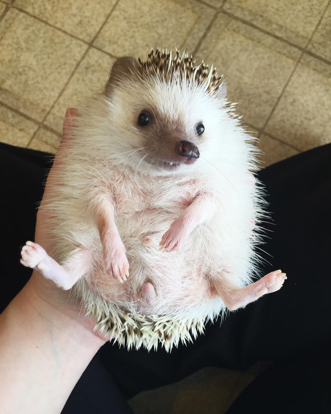 vampire-hedgehog-fangs-hodge-huffington-2