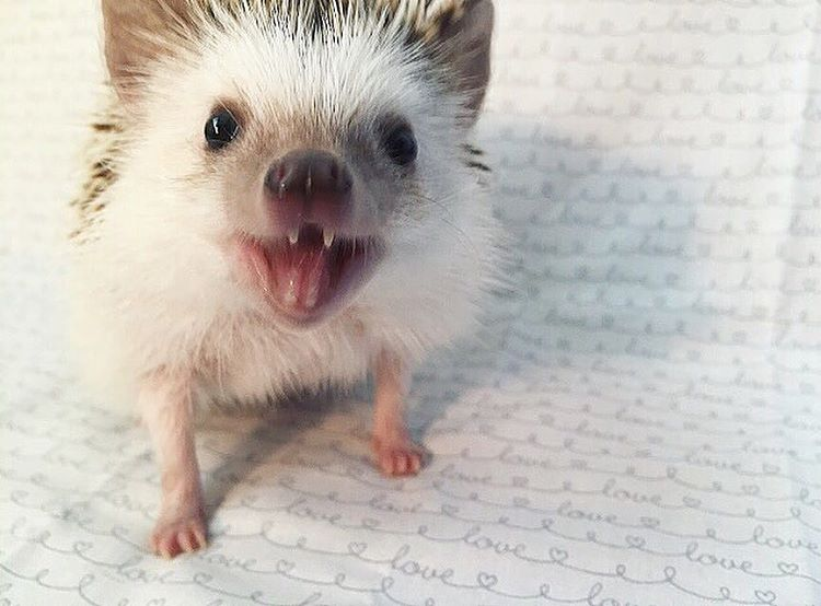 vampire-hedgehog-fangs-hodge-huffington-36
