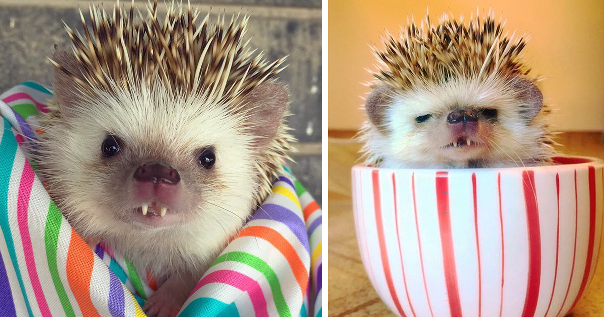 vampire-hedgehog-fangs-hodge-huffington-fb2