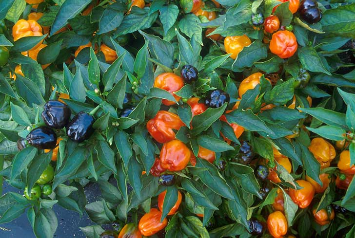 11034-miniature-bell-peppers-growing-on-a-plant-pv